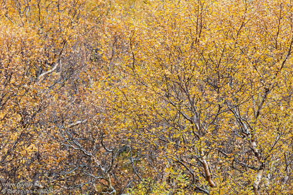 Herfstkleuren in het bos bij Húsafell