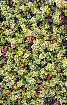 Plantjes bij Hraunfossar