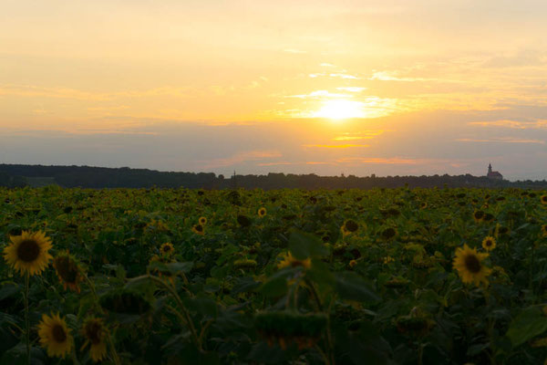 Sonnenblumen vorm Zelt.