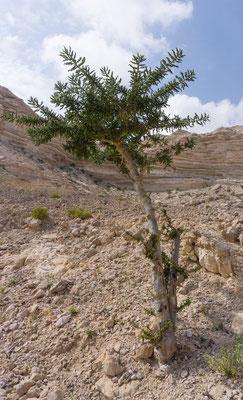 Weihrauchbäume - Oman ist berühmt für Weihrauch!
