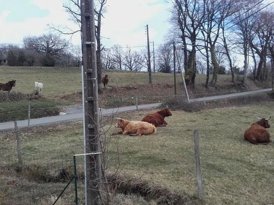 Des Vaches Salers (de mon voisin)
