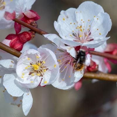 Gehörnte Mauerbiene auf Aprikosenblüte (Foto: Ute Nieveler)