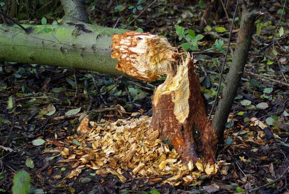 Gefällter Baum (Foto: Achim Schumacher)