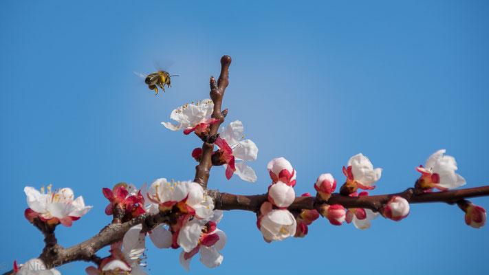 Honigbiene beim Anflug auf Aprikosenblüte (Foto: Ute Nieveler)