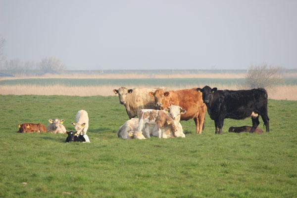 Nachdem wir unsere unsere Mutterkühe gemeinsam mit ihren neugeborenen Kälbchen von der Winterweide auf der Geest wieder auf unseren betriebsnahen Flächen auf der Marsch