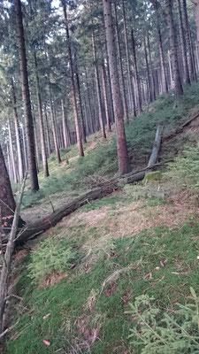 Steilhang der Brandkuppe zum Grümpental wird sichtbar durch Totholz (Steinheid)
