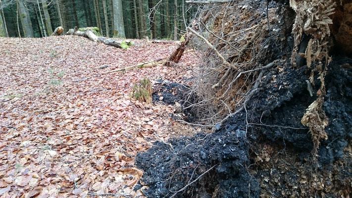 Entwurzelte Bäume machen die Gestübeschicht sichtbar, Taubentiegel (Hämmern)