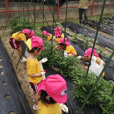英語で野菜収穫です
