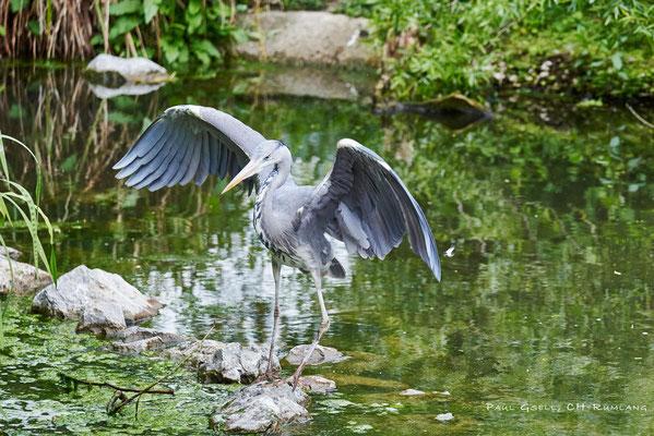 Freilebender Graureiher im Zoo Zürich - Grey heron - #0859