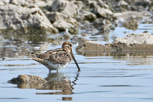 Bekassine - Common Snipe (Gallinago gallinago) - #3949