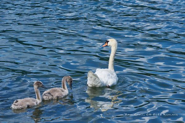 Höckerschwan mit 2 Jungen schwimmend im See - #1759