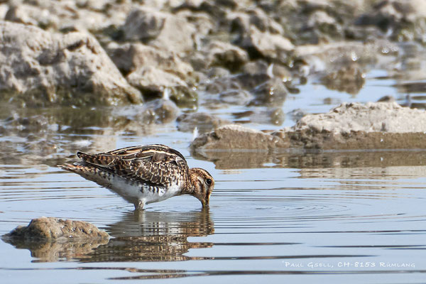 Bekassine - Common Snipe (Gallinago gallinago) - #3950