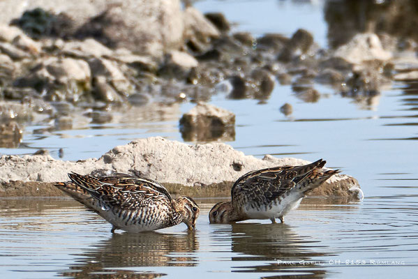 Bekassinen - Common Snipes (Gallinago gallinago) - #3962
