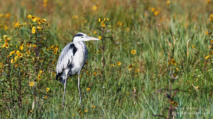 Graureiher - Grey Heron - #7309