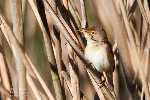 Teichrohrsänger - European Reed Warbler - #2167