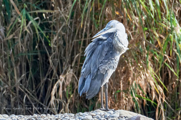 Graureiher im Neeracherried - Grey heron - #4017