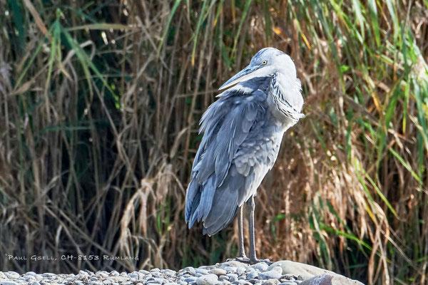 Graureiher im Neeracherried - Grey heron - #4017