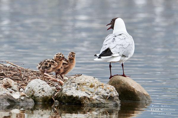 Lachmöwen - Black-headed Gulls - #2128