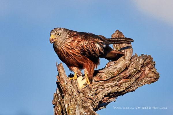Rotmilan (Milvus milvus) - Red Kite - #0397