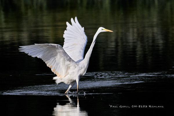 Silberreiher - Great white egret - (Ardea alba) - #2020