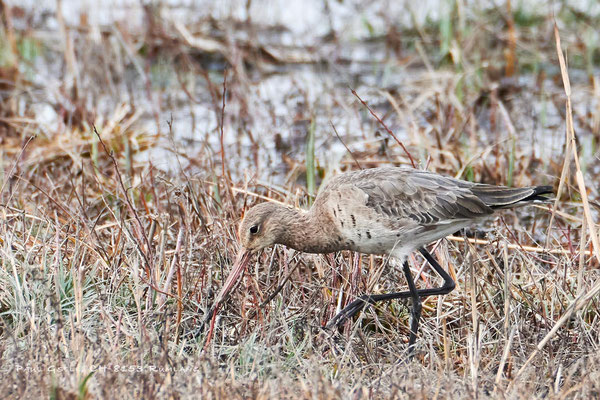 Uferschnepfe - Black-tailed Godwit - #8455