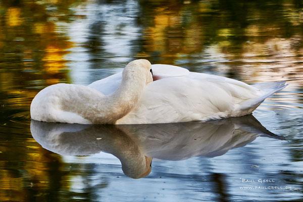 Höckerschwan - Mute Swan - #9060