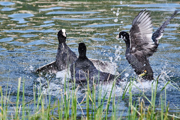 Streit unter Blässhühnern - Squabbling coots - #3393