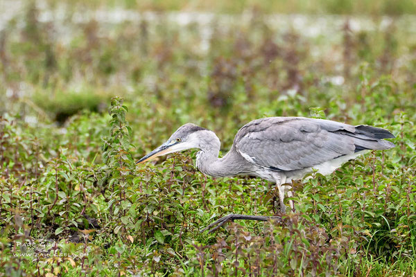 Graureiher - Grey Heron - #3873