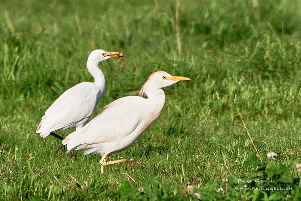 Kuhreier - Cattle Egret - #6445