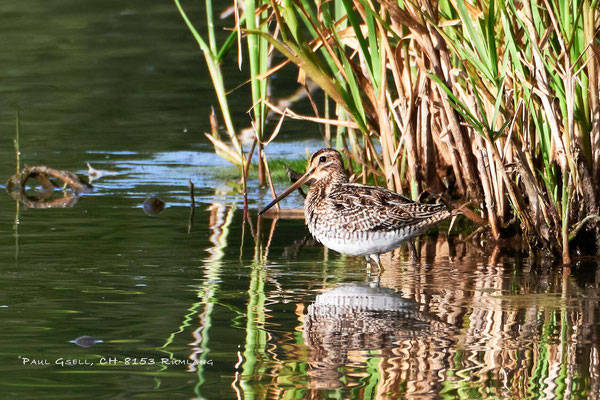 Bekassine - Common Snipe (Gallinago gallinago) - #2736_1