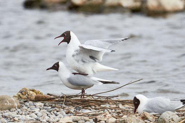Lachmöwen - Black-headed Gulls - #0761