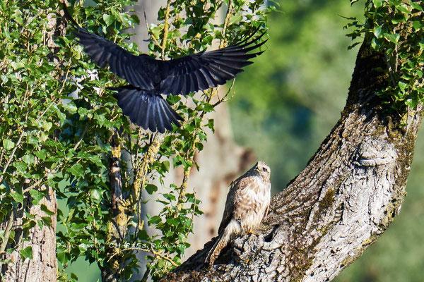 Krähe attackiert Mäusebussard - #9586