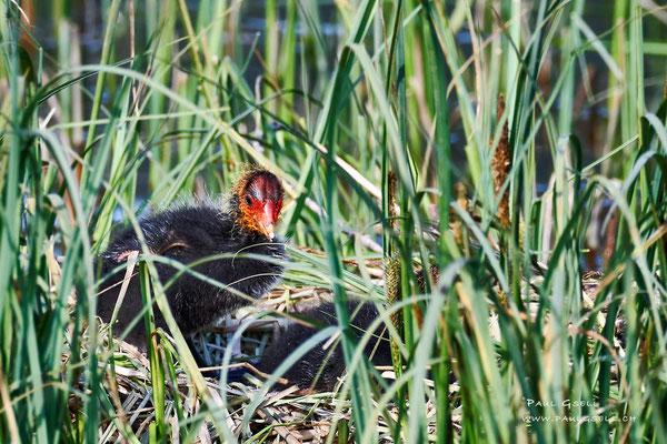 Blässhuhn Küken - Coot fledgling - #3375