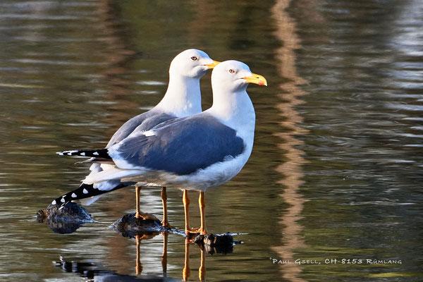 Mittelmeermöwen - Yellow-legged Gulls - #0388