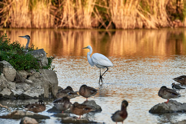 Silberreiher im Neeracherried - Great white egret - #3026
