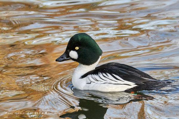 Schellente im Zoo Zürich - Goldeneye duck - #5830