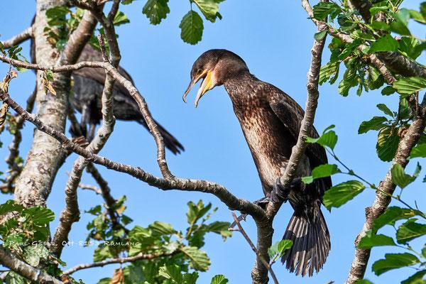 Kormoran - Great Cormorant - #1467