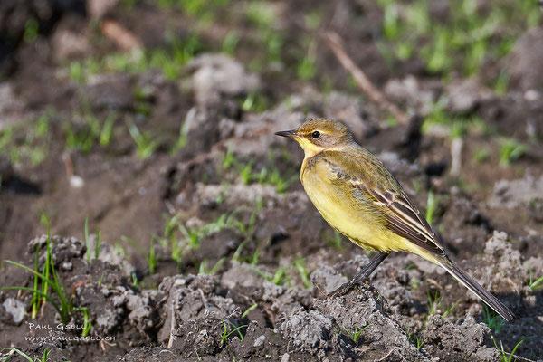 Schafstelze - Western Yellow Wagatail - #7233