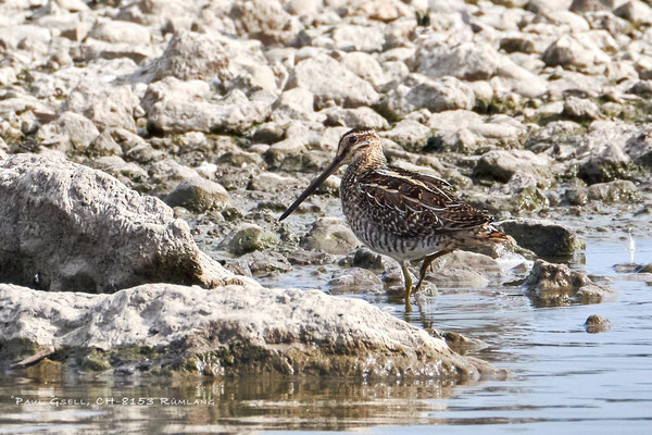 Bekassine - Common Snipe (Gallinago gallinago) - #3977