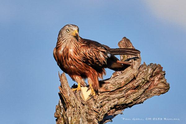 Rotmilan (Milvus milvus) - Red Kite - #0395