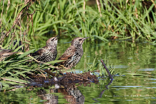 Stare - Common starlings - #4357