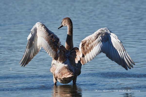 Junger Höckerschwan - Young Mute Swan - #3092