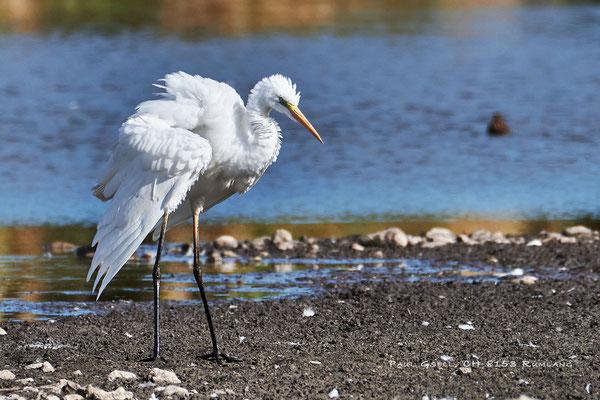 Silberreiher - Great white egret - (Adria alba) - #2559
