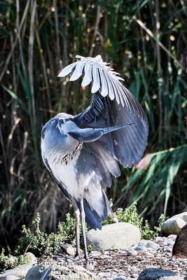 Graureiher - Fischreiher - Grey heron - #2317