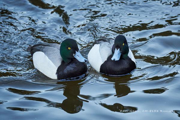 Bergenten - Aythya maril - Natur- und Tierpark Goldau - #5942