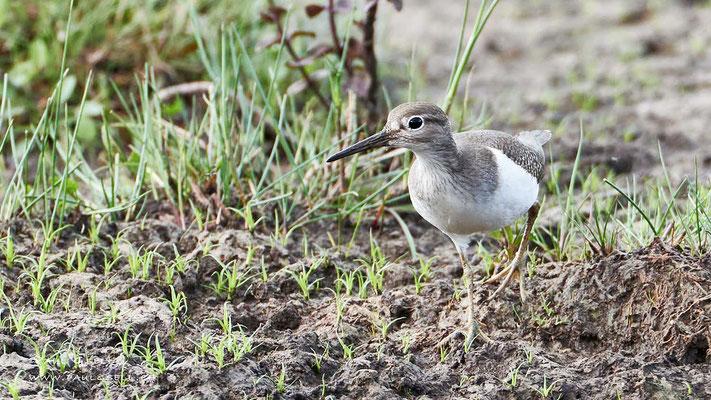 Flussuferläufer - Common Sandpiper - #6512
