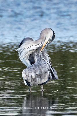 Graureiher - Fischreiher - Grey heron - #2419