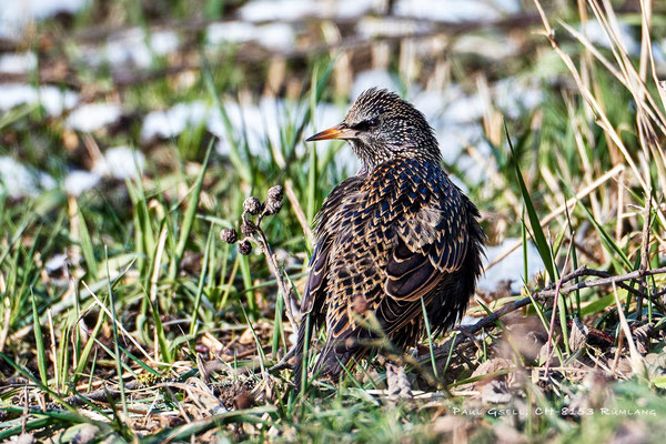Star - Common Starling - #7636