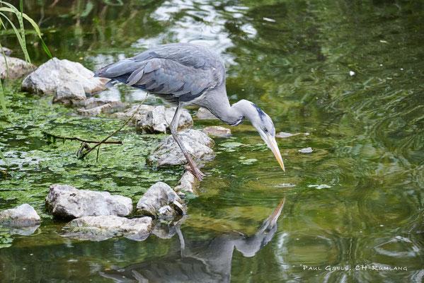 Freilebender Graureiher im Zoo Zürich - Grey heron - #0867