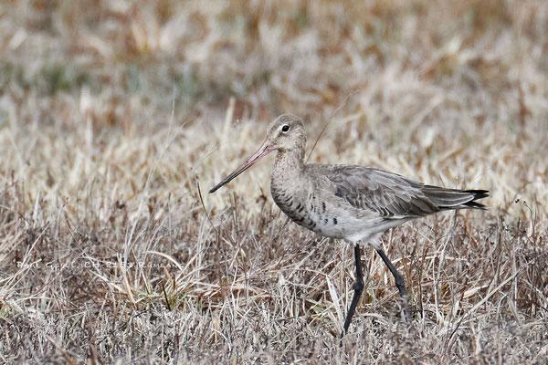 Uferschnepfe - Black-tailed Godwit - #8386